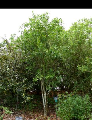 Irrec Garden Plant Guide Guapira Discolor